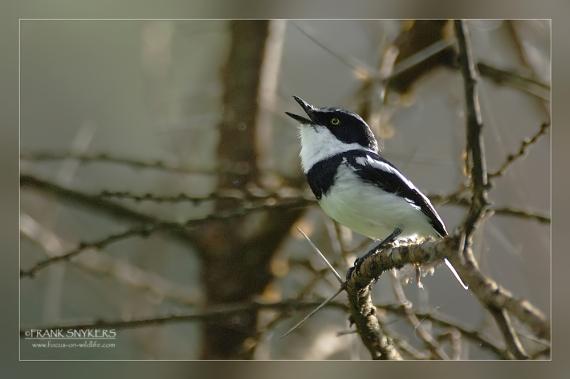 طير موليتور النادر witflankvliegenvange