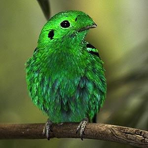Broadbill,  اخضر عريض منقار