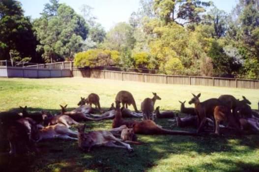 Kangaroos-at-Lone-Pine-Koala-Sanctuary