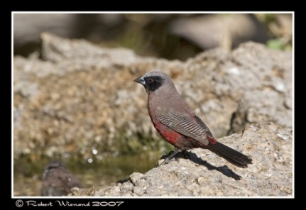 550px-IMG_9951Black-faced_Waxbill_-اسود الخدين
