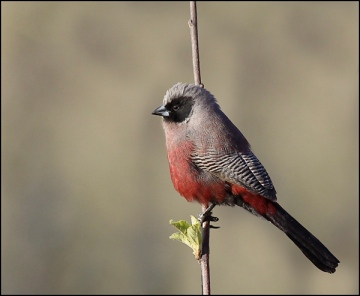 Black-faced_Waxbill_-اسود الخدين