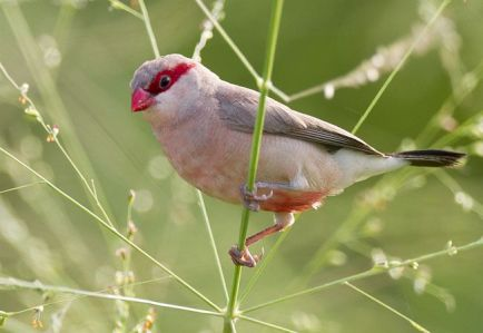 blackrumped_waxbill2mالأسود رمبت