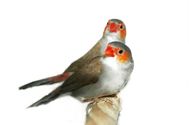 البرتقالي الخدين-Orange-Cheeked_Waxbill_zackandzill