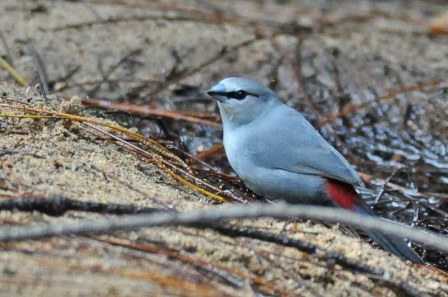 Grey Waxbill copy