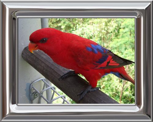 775px-Red_Lory_(Eos_bornea)_Jurong_Bird_Park2-3c