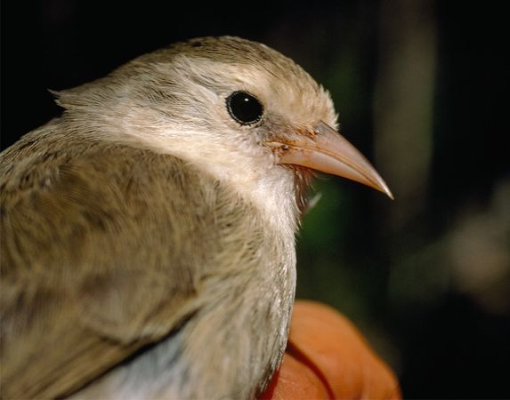akikiki-bird_10567_600x450
