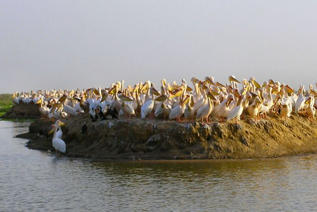 800px-Djoudj_ile_pelican